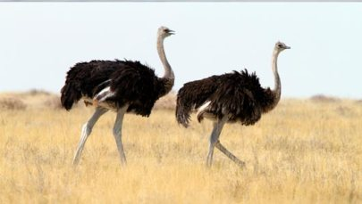 Ostriches hide from the sea